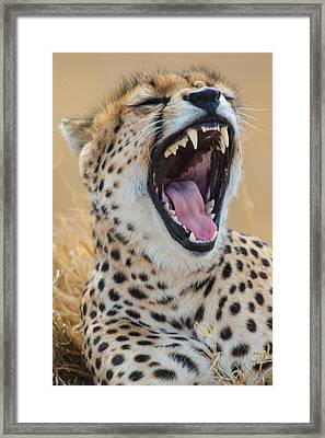 Close-up Of Cheetah Acinonyx Jubatus Framed Print
