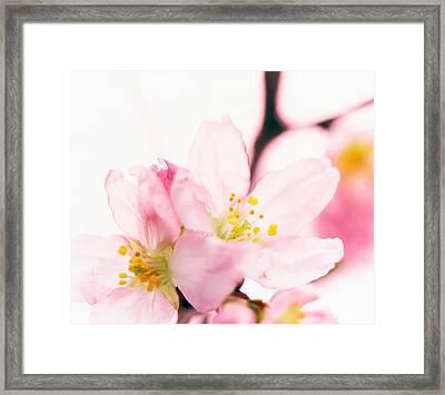 Close Up Of Cherry Blossom Framed Print