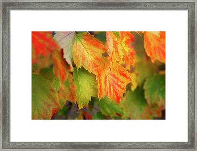 Close Up Of Colourful Leaves Changing Framed Print by Jenna Szerlag