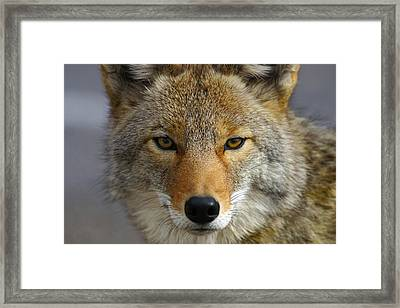Close Up Of Coyote Death Valley Framed Print