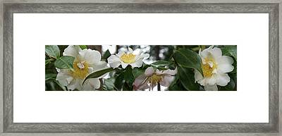 Close-up Of Details Of Camellia Flowers Framed Print by Panoramic Images