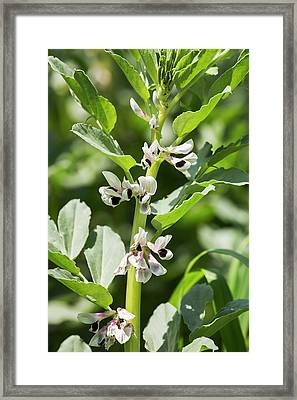 Close Up Of Fava Bean Blossoms Framed Print by Michael Interisano
