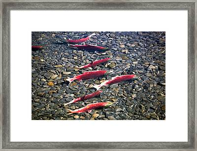 Close-up Of Fish In Water, Sockeye Framed Print by Panoramic Images