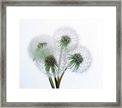 Close Up Of Four Dandelion Heads Framed Print by Panoramic Images