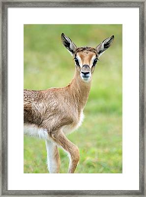 Close-up Of Grants Gazelle Nanger Framed Print by Panoramic Images
