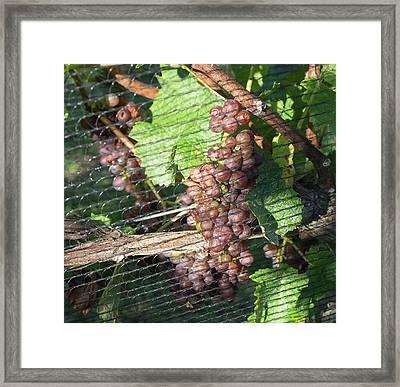 Close-up Of Grapes On Vine Framed Print