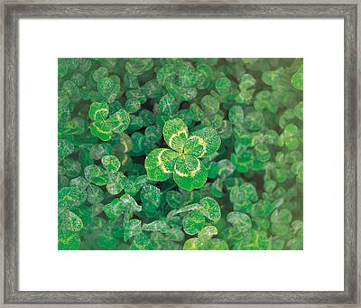 Close Up Of Green Clover Framed Print by Panoramic Images