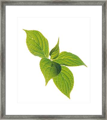Close Up Of Green Leaves On Pale Green Framed Print