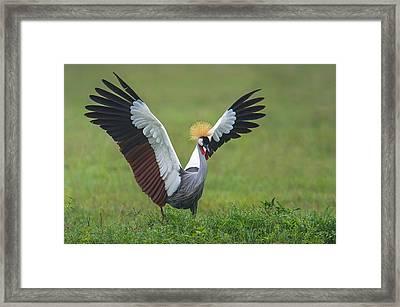 Close-up Of Grey Crowned Crane Framed Print