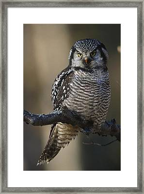 Close Up Of Hawk Owl Perched Framed Print