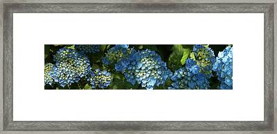 Close-up Of Hydrangeas Flowers Blooming Framed Print