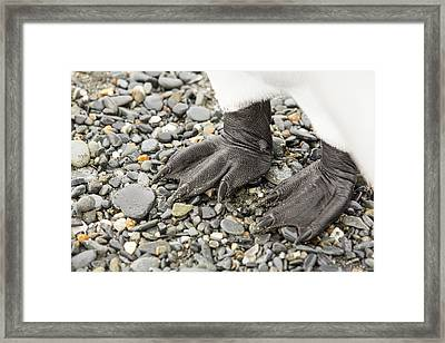 Close Up Of King Penguin Feet Framed Print by Ashley Cooper
