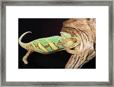 Close-up Of Madagascar Chameleon On Wood Framed Print