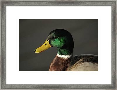 Close Up Of Male Mallard Duck Framed Print by Michel Hersen