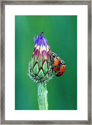 Close-up Of Mating Ladybugs Framed Print
