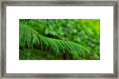 Close-up Of Norfolk Island Pine Framed Print by Panoramic Images