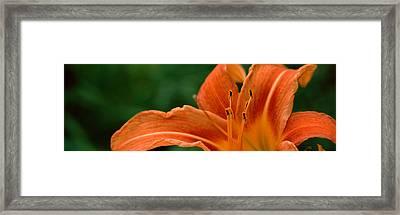 Close-up Of Orange Daylily Hemerocallis Framed Print by Panoramic Images