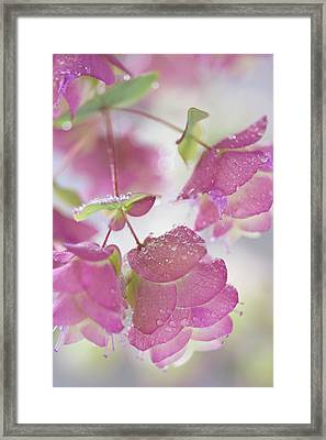 Close-up Of Ornamental Oregano Plant Framed Print by Jaynes Gallery