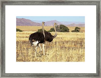 Close-up Of Ostrich (struthio Camelus Framed Print by Jaynes Gallery