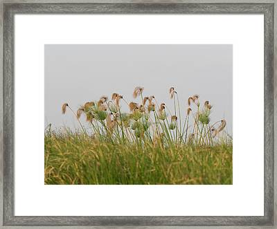 Close-up Of Papyrus Plants, Okavango Framed Print