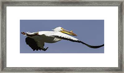 Close Up Of Pelican In Flight Framed Print