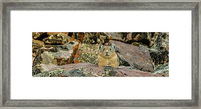 Close-up Of Pika Ochotona Princeps Framed Print