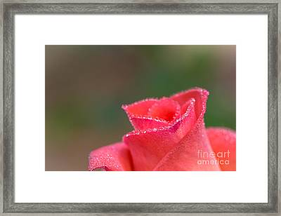 Close-up Of Pink Rose With Water Drops Framed Print by Tosporn Preede
