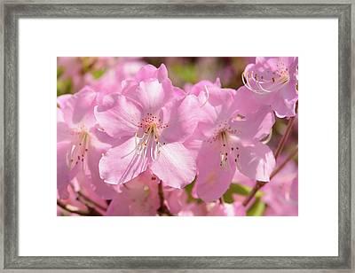 Close Up Of Pink Shell Azalea Flowers Framed Print by Darlyne A. Murawski