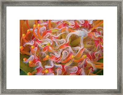 Close-up Of Protea Flower Framed Print