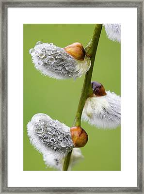 Close-up Of Rain Drops On Pussy Willows Framed Print by Jaynes Gallery