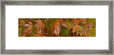 Close-up Of Raindrop On Maple Leaves Framed Print by Panoramic Images