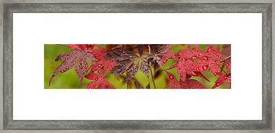 Close-up Of Raindrops On Japanese Maple Framed Print