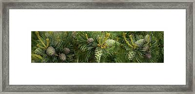 Close-up Of Raw Pine Cones Growing Framed Print