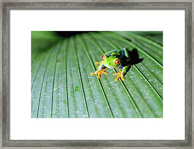 Close Up Of Red Eyed Tree Frog, Costa Framed Print by Matteo Colombo