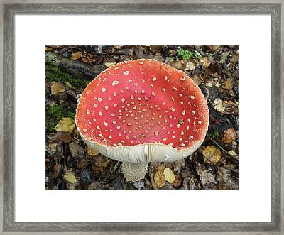 Close-up Of Red Mushroom Growing Framed Print
