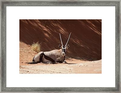 Close-up Of Resting Oryx (oryx Gazella Framed Print by Jaynes Gallery