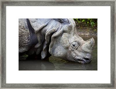 Close Up Of Rhino Drinking Rhinoceros Unicornis Framed Print by Gino De Graaf