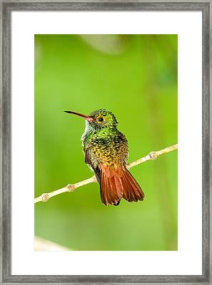 Close-up Of Rufous-tailed Hummingbird Framed Print