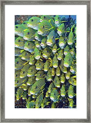 Close-up Of Schooling Sweetlip Fish Framed Print