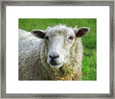 Close Up Of Sheep Framed Print by Patricia Hamilton