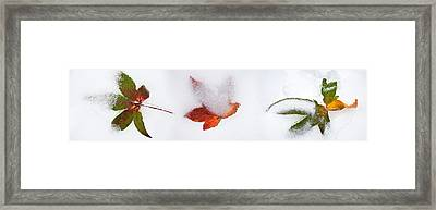 Close-up Of Snow Covered Maple Leaves Framed Print