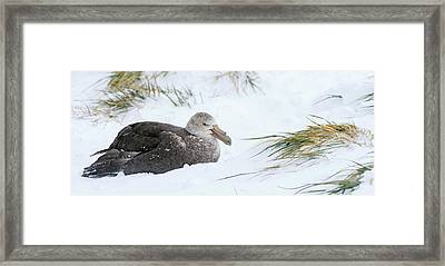 Close-up Of Southern Giant Petrel Framed Print by Panoramic Images