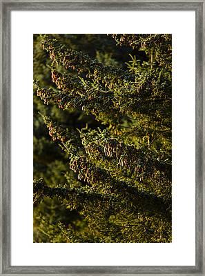 Close Up Of Spruce Tree, Autumn, Kodiak Framed Print by Kevin Smith