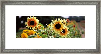 Close-up Of Sunflowers Helianthus Annuus Framed Print by Panoramic Images