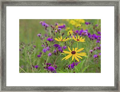 Close-up Of Sweet Black-eyed Susan Framed Print by Panoramic Images