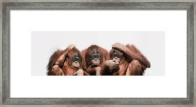 Close-up Of Three Orangutans Framed Print by Panoramic Images