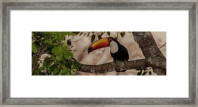 Close-up Of Tocu Toucan Ramphastos Toco Framed Print