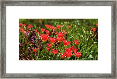 Close-up Of Tulip Flowers Blooming Framed Print