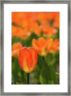 Close-up Of Tulip Flowers, Niagara Framed Print
