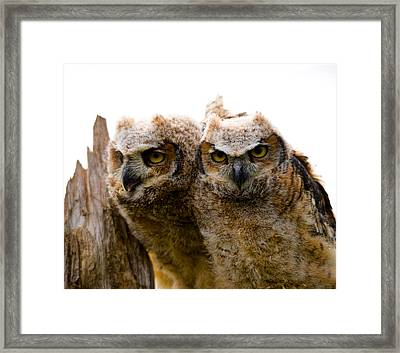 Close-up Of Two Great Horned Owlets Framed Print